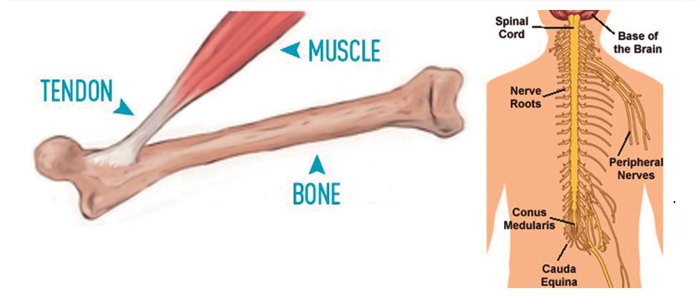 Diferença entre tendão, nervo e ligamento